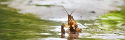 American spiny-cheek crayfish (Orconectes limosus) invasive to Europe in a forest river, close-up. Panoramic image. Nature, wildlife, zoology, biology, science, environmental conservation