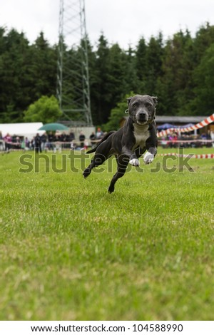 American stafford bullterrier in action