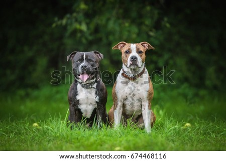American staffordshire teriier and english staffordshire bullterrier dogs #674468116