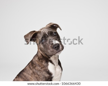 American Staffordshire Terrier #1066366430