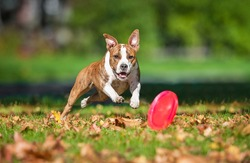American staffordshire terrier dog catching in the park in autumn