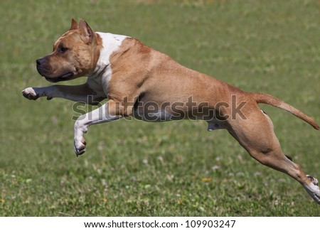 American Staffordshire Terrier dog jumping in the grass