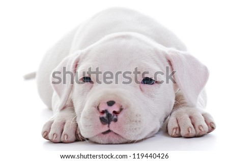American Staffordshire Terrier Dog Puppy laying, closeup, selective focus on eyes