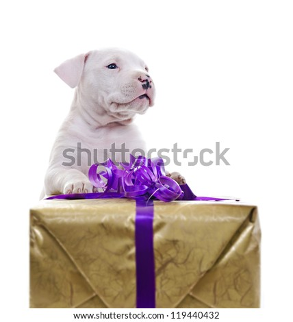 American Staffordshire Terrier Dog Puppy lean against big gift box, looking off camera