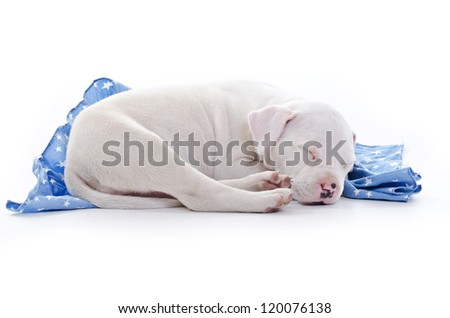 American Staffordshire Terrier Dog Puppy sleeping over blue starry blanket