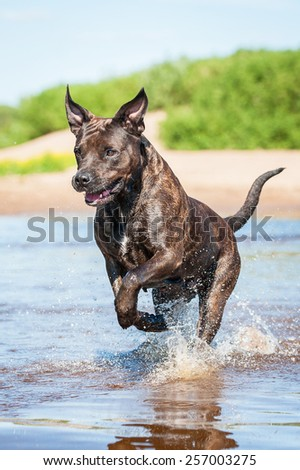 American staffordshire terrier dog running on the beach