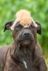 American staffordshire terrier dog with little kitten on its head