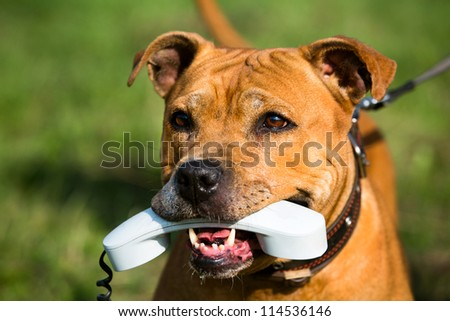American Staffordshire terrier holding a phone in his mouth - concept of communication