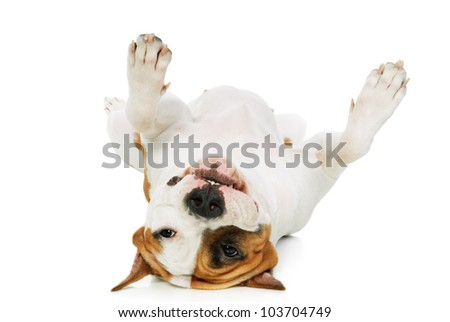 American Staffordshire terrier laying upside down on his back on white background
