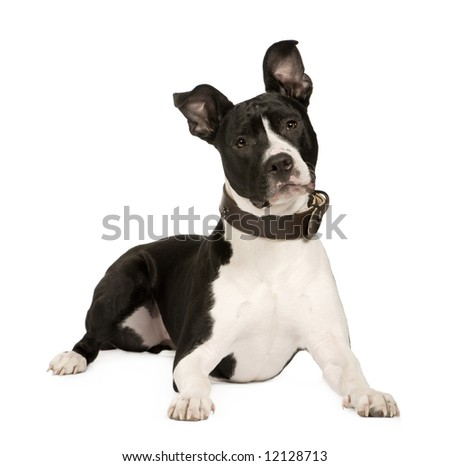 American Staffordshire terrier (8 months) in front of a white background