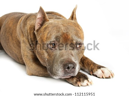 American Staffordshire terrier of a white