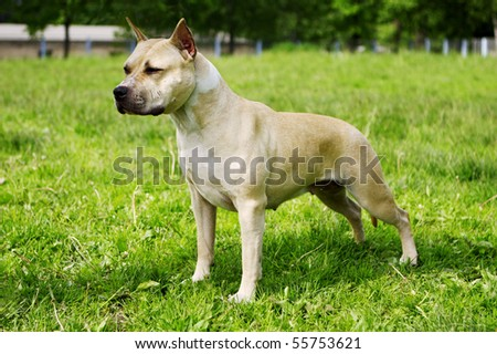 American Staffordshire terrier of a white stands in the exhibition stand