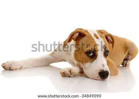 American Staffordshire terrier on white background - stock photo