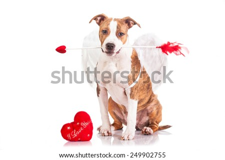 American staffordshire terrier puppy dressed as a St Valentine's day cupid holding an arrow in his mouth