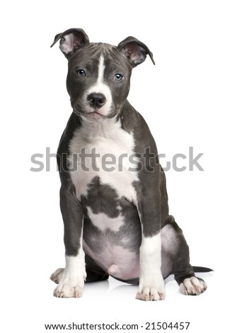 American Staffordshire terrier puppy (3 months) in front of a white background