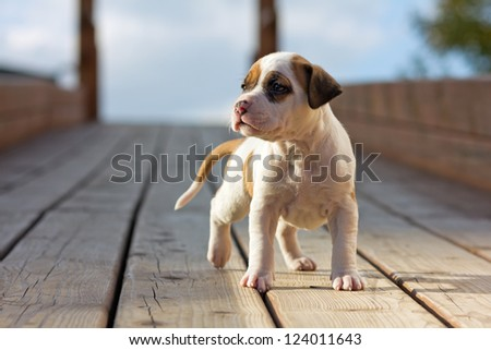 American Staffordshire terrier puppy on wooden boards