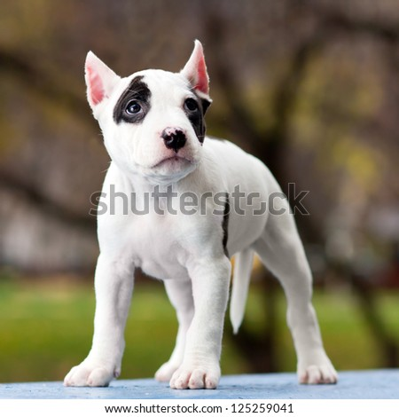 American Staffordshire terrier puppy standing on outdoor