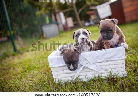 American Staffordshire Terrier puppys in a basekt/box. Photos of a young sleepy puppy.