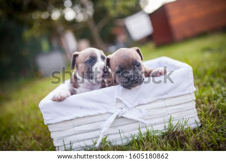 American Staffordshire terrier puppys in a basket. Small newborn dogs in the garden