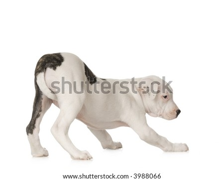 American Staffordshire terrier sitting in front of a white background