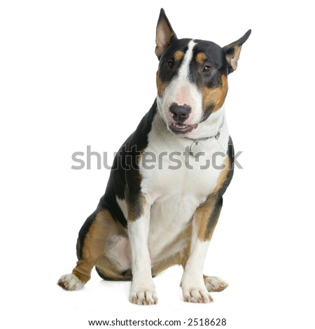 American Staffordshire terrier white hazel black sitting in front of white background