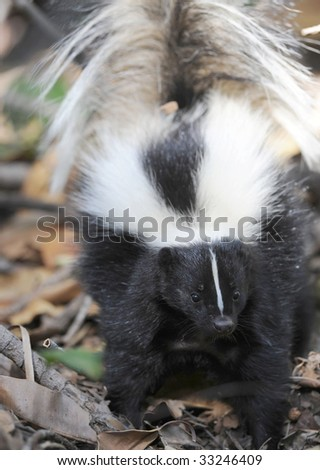 american striped skunk with tail posed, los angeles, california, united states