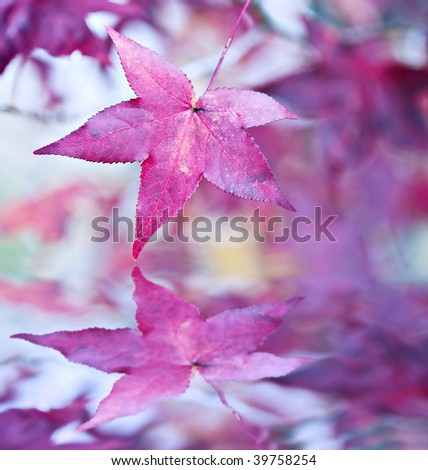 american sweetgum leaves in...