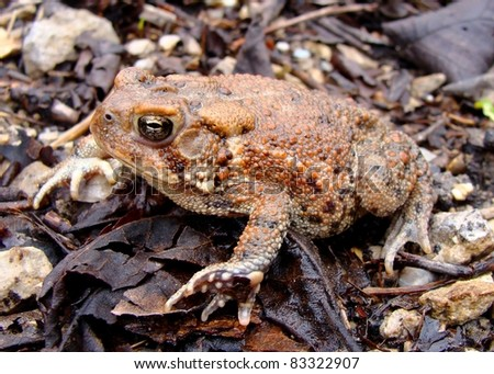 American Toad, Anaxyrus (Bufo) americanus