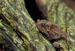 American toad (Bufo americanus) basking on log; cavity in log provides shelter from heat, cold, and predators.