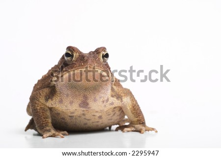 American toad front view.