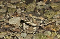 American toad macro portrait on rocks