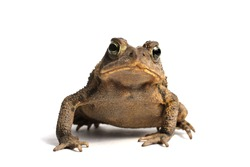 American Toad on a white background (Bufo americanus)