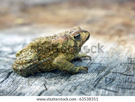american toad profile sitting on a tree stump