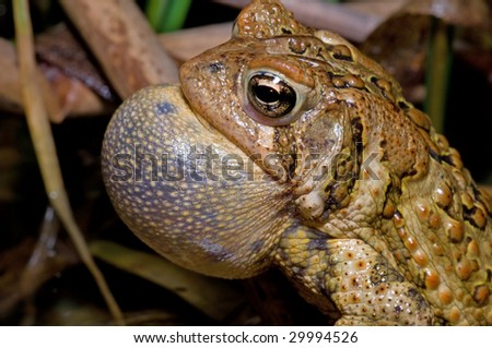 American Toad trilling