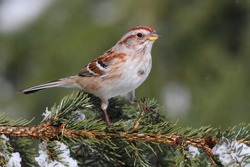 American Tree Sparrow (Spizella arborea) on an evergreen in winter