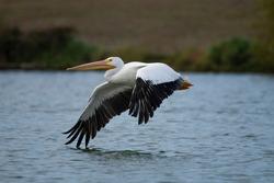 American White Pelican, Birds, Nature