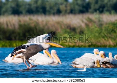 American White Pelican landing on water