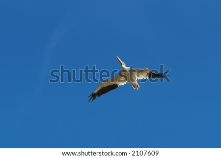 American White Pelican outstretch wings in blue sky