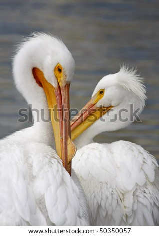 American White Pelican Pair in Mating Plumage - stock photo