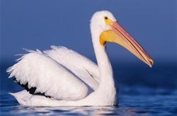 American White Pelican, Pelecanus erythrorhynchos, adult swimming, Rockport, Texas, USA, December