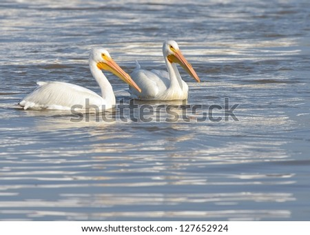 American White Pelican Pelecanus erythrorhynchos Louisiana flying swimming isolated water