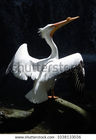 Stock Photo American White Pelican spread their wings on a black background, Central America, Mexico, (Pelecanus Erythrorthynchos)