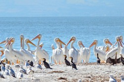 American White Pelicans at Lake Chapala, Mexico