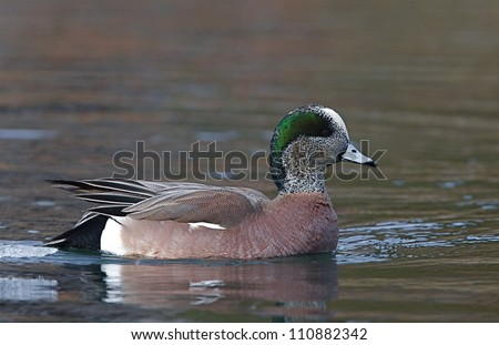 American Widgeon / Wigeon, Anas americana, swimming at the confluence of the Methow and Columbia Rivers in Washington during spring migration; Pacific Northwest wildlife / nature / outdoors