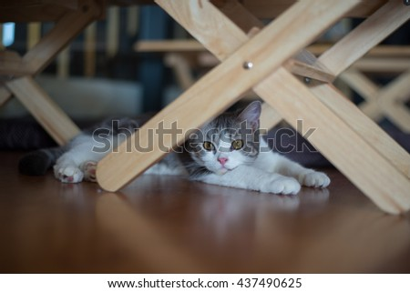 American Wirehair cat sitting curiously under the table #437490625