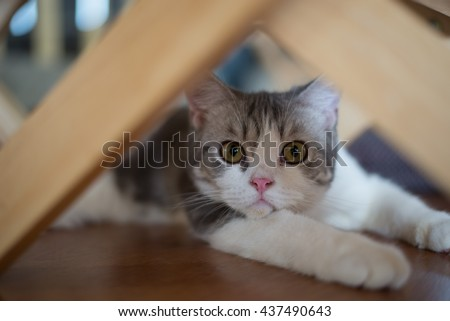 American Wirehair cat sitting curiously under the table #437490643