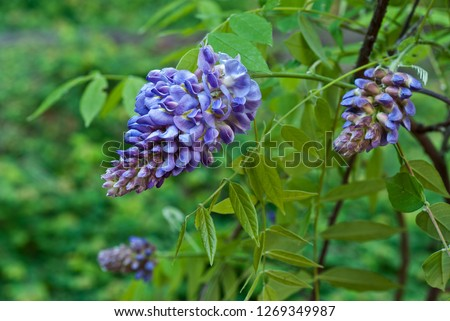 American wisteria (Wisteria frutescens) blooming in spring. This native vine is preferred by gardeners who want to avoid planting the far more common but highly invasive Asian wisteria. #1269349987