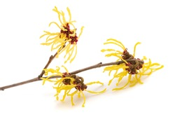 American witch hazel flower isolated on white background
