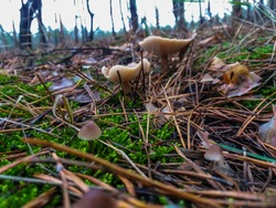 Amicable family of mushrooms with thin legs/Clustered bonnet on a green background/Mushroom-Mycena inclinata