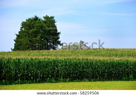 Amish Barn Building and tall unpicked fresh corn